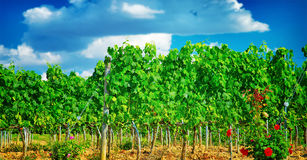 Beautiful vineyard in Europe Stock Image