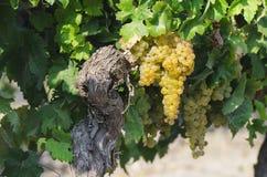 Beautiful vineyard with grapes Stock Image
