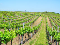 Beautiful vineyard hills Royalty Free Stock Image