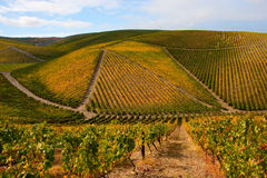 Beautiful Vineyard Landscape Stock Images