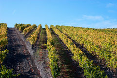 Beautiful Vineyard Landscape. With a blue sky Royalty Free Stock Photo