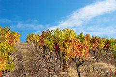 Beautiful Vineyard Landscape. Whith blue sky Stock Image