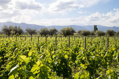Beautiful vineyard in Mendoza, Argentina. Beautiful green vineyard in Mendoza Region in Argentina Royalty Free Stock Photography