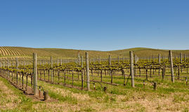 Beautiful Vineyard in Napa Valley. In Spring stock photography