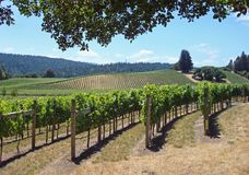 Beautiful Vineyard in Northern California. With vines in production stock image