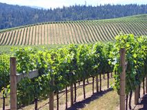 Beautiful Vineyard in Northern California. With vines in production royalty free stock image