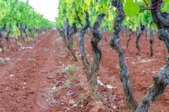 Beautiful vineyard. On red soil in early summer evening royalty free stock photography