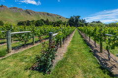 Beautiful vineyard with roses in New Zealand Stock Photo