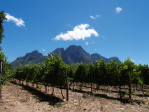 Beautiful vineyard in South Africa Royalty Free Stock Images