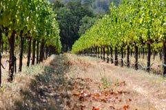 Beautiful Vineyard in Summer Stock Image
