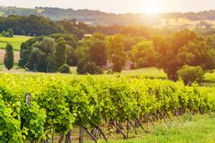 Beautiful vineyard at sunset. Travel around France, Bordeaux. Beautiful sky over vineyards in France royalty free stock image