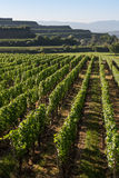 Beautiful Vineyard Terraces In Ihringen, South Germany Royalty Free Stock Images