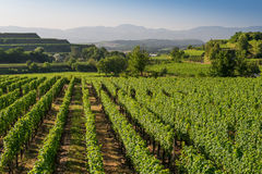 Beautiful Vineyard Terraces In Ihringen, South Germany Stock Photography