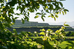 Beautiful Vineyard Terraces In Ihringen, South Germany Royalty Free Stock Photography