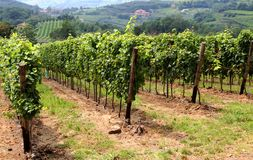 Beautiful vineyards in the countryside of Tuscany Royalty Free Stock Photo