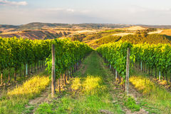 Beautiful vineyards on the hills of the peaceful Tuscany, Italy Royalty Free Stock Photo