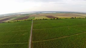 Beautiful vineyards landscape in summer colors, aerial view stock video footage