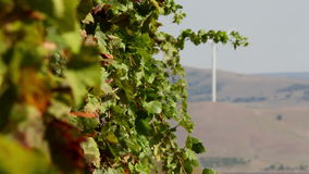Beautiful vineyards landscape with wind turbines in the background stock video