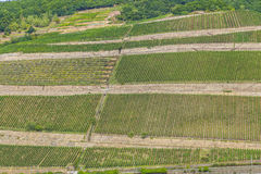 Beautiful vineyards at  the rhine Royalty Free Stock Images