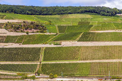 Beautiful vineyards at  the rhine Royalty Free Stock Photo