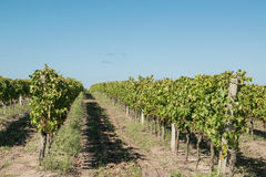 Beautiful vineyards under a blue sky. Royalty Free Stock Photo