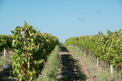 Beautiful vineyards under a blue sky. Royalty Free Stock Images