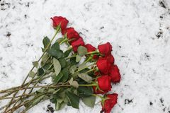 Beautiful vinous roses on the snow. Beautiful vinous red roses on the white snow in frosty winter day Royalty Free Stock Photography