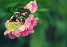 Beautiful vintage background with a butterfly on phlox in the ra Stock Images