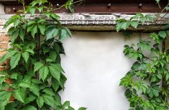 Beautiful vintage frame of lianas of wild grapes on an old shabby wall with a white door Stock Photo