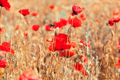 Beautiful vintage postcard background. With red poppies Royalty Free Stock Images