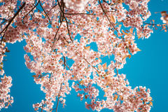 Beautiful vintage sakura tree flower cherry blossom in spring on blue sky background. Royalty Free Stock Photos