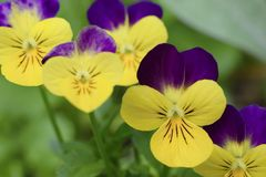 Beautiful viola flowers, yellow and purple colored royalty free stock images
