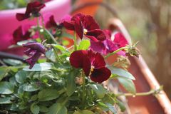Viola tricolor royalty free stock images