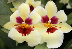 Beautiful Viola tricolour Royalty Free Stock Images