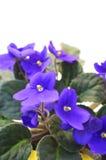 Beautiful Violet Royalty Free Stock Image