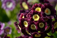 Free Beautiful Violet And Purple Primula Pubescens Flowers In Summer Sunshine Royalty Free Stock Image - 99998136