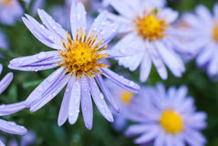 Beautiful violet aster flowers wit dew drops Royalty Free Stock Image