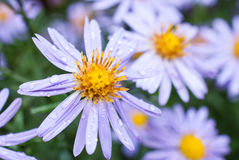 Beautiful violet aster flowers wit dew drops Royalty Free Stock Images