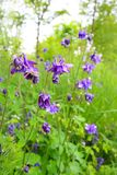 Beautiful violet bellflowers in the garden Stock Photo