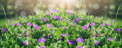 Beautiful violet bells flowers, greens and bokeh lighting in the garden, summer outdoor floral nature background stock photography