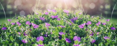 Beautiful violet bells flowers, greens and bokeh lighting in the garden, summer outdoor floral nature background royalty free stock images
