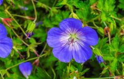 Beautiful violet blue flower and green leaves Royalty Free Stock Images