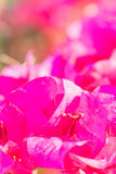 Beautiful violet  bougainvillea flowers with blur background. Royalty Free Stock Photography