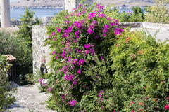 Beautiful violet bougainvillea   tropic  flower Stock Photography