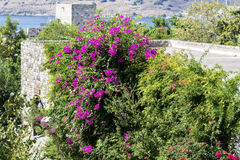 Beautiful violet bougainvillea   tropic  flower Royalty Free Stock Images