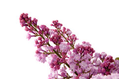 Beautiful violet bouquet of lilac Stock Image