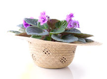 Beautiful violet bush in the straw hat Stock Images