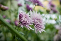 Beautiful violet chrysanthemums as background picture. Stock Images
