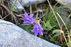 The beautiful violet color mountain flowers. The Durmitor National Park,Montenegro stock images