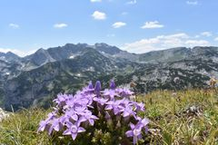 The beautiful violet color mountain flowers and the Durmitor`s peaks in the background. The Durmitor national Park,Montenegro stock image